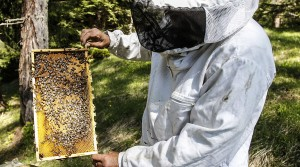 Honeybees threatened by manmade disease